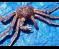 kamchatskii-krab-potreboval-smeny-pokazatelia