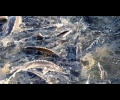 podmoskove-sybsidiryet-akvafermerov